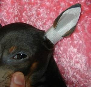 Как подклеить уши