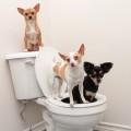 Приучить чихуахуа к туалету
