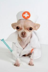 Прививки щенку чихуахуа
