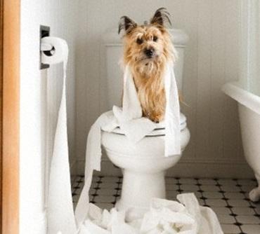 Как приучить йоркширского терьера к туалету