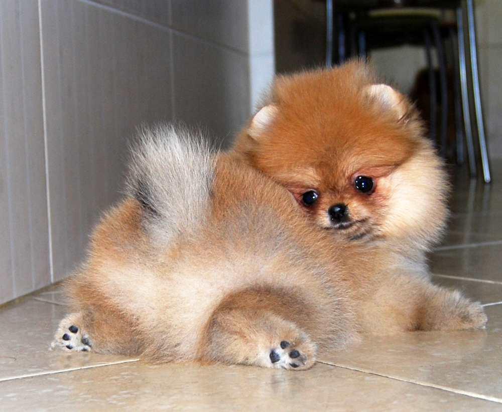 Картинки собаки йорк