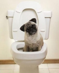 Как приучить мопса к туалету