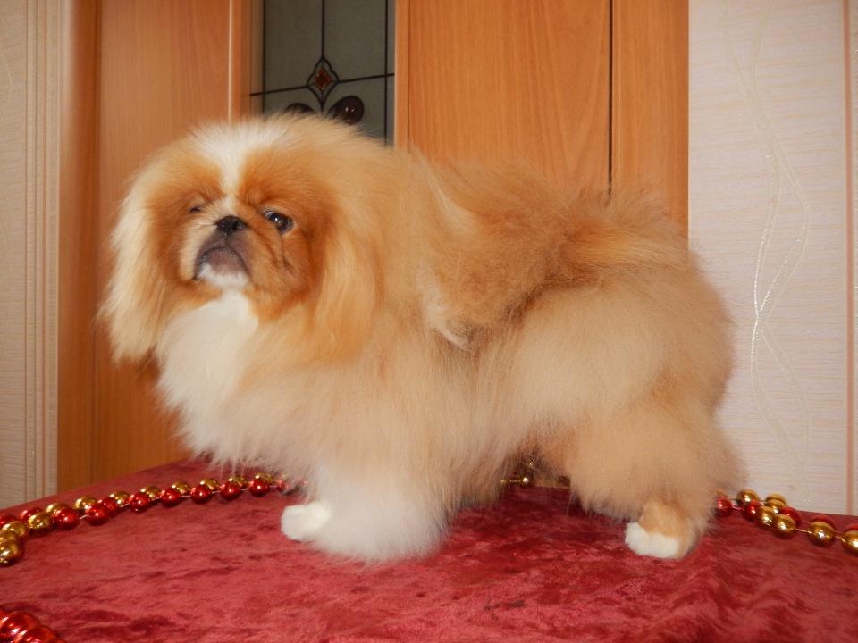 Чем кормить щенка пекинеса