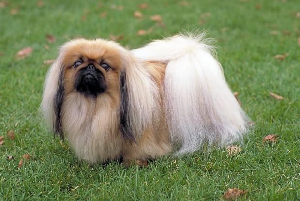 собака похожая на пекинеса