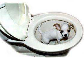 Фото записи Как приучить чихуахуа к туалету