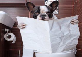 Фото записи Как приучить французский бульдога к туалету