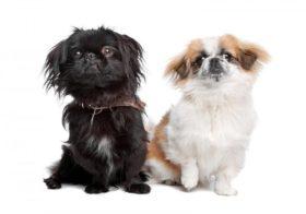 Фото записи Собака похожая на пекинеса