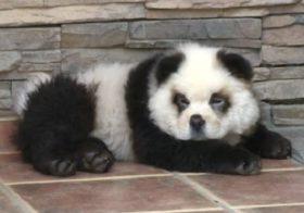 Фото записи Чау-чау панда