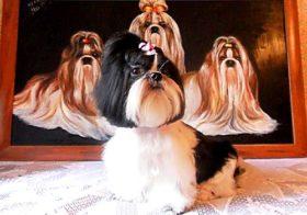 Фото записи Как выбрать щенка ши-тцу