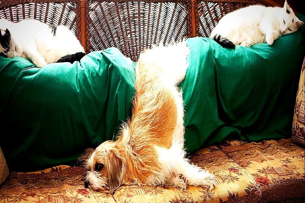 Как выбрать щенка ши-тцу