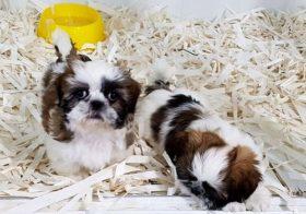 Фото записи Прививки щенкам ши-тцу