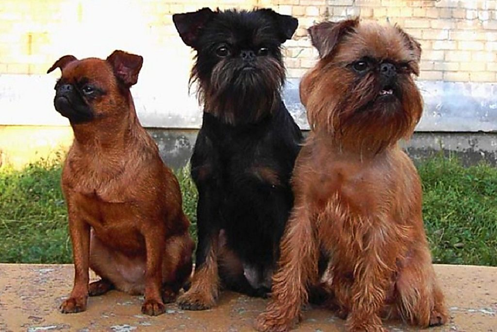 Отличие бельгийского, брюссельского гриффона и пти брабансона