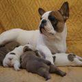 Беременность и роды французского бульдога