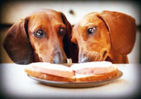 Фото записи Чем кормить щенка таксы