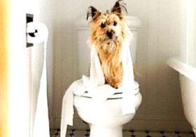 Фото записи Как приучить йоркширского терьера к туалету