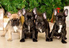 Фото записи Как выбрать щенка французского бульдога