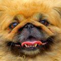 Зубы у пекинеса