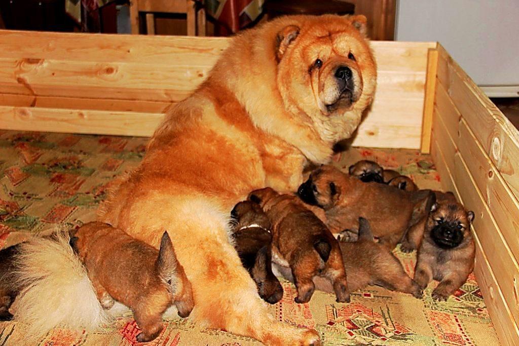 Чау-чау беременность и роды