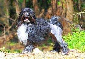 Лион бишон (левхен, малая львиная собачка)