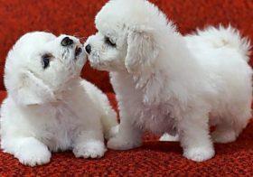 Фото записи Чем кормить щенка мальтезе