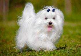 Фото записи Собаки похожие на болонку