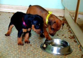 Чем кормить щенка цвергпинчера?