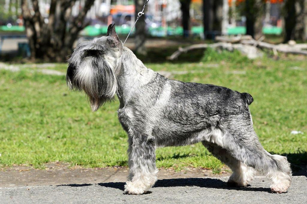 Днем рождения, порода собак шнауцер картинки