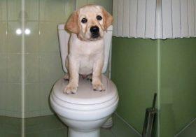 Как приучить лабрадора к туалету