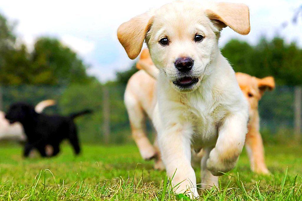 Лабрадор дрессировка и воспитание щенка