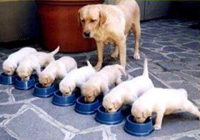 Фото записи Чем кормить щенка лабрадора