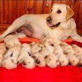 Лабрадор беременность и роды