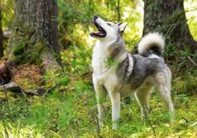 Характер западно сибирской лайки: плюсы и минусы