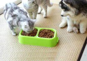 Фото записи Чем кормить щенка хаски?