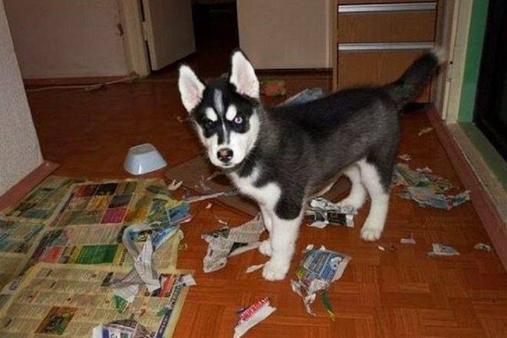 Как воспитывать щенка хаски?