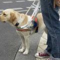 собачка проводник слабовидящего человека