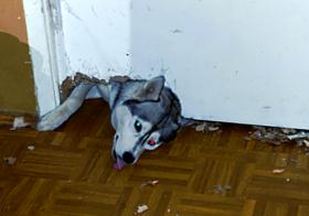 Фото записи Уход и содержание хаски
