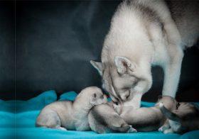 Фото записи Хаски беременность и роды