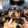 Великолепные щенки ротвейлера.