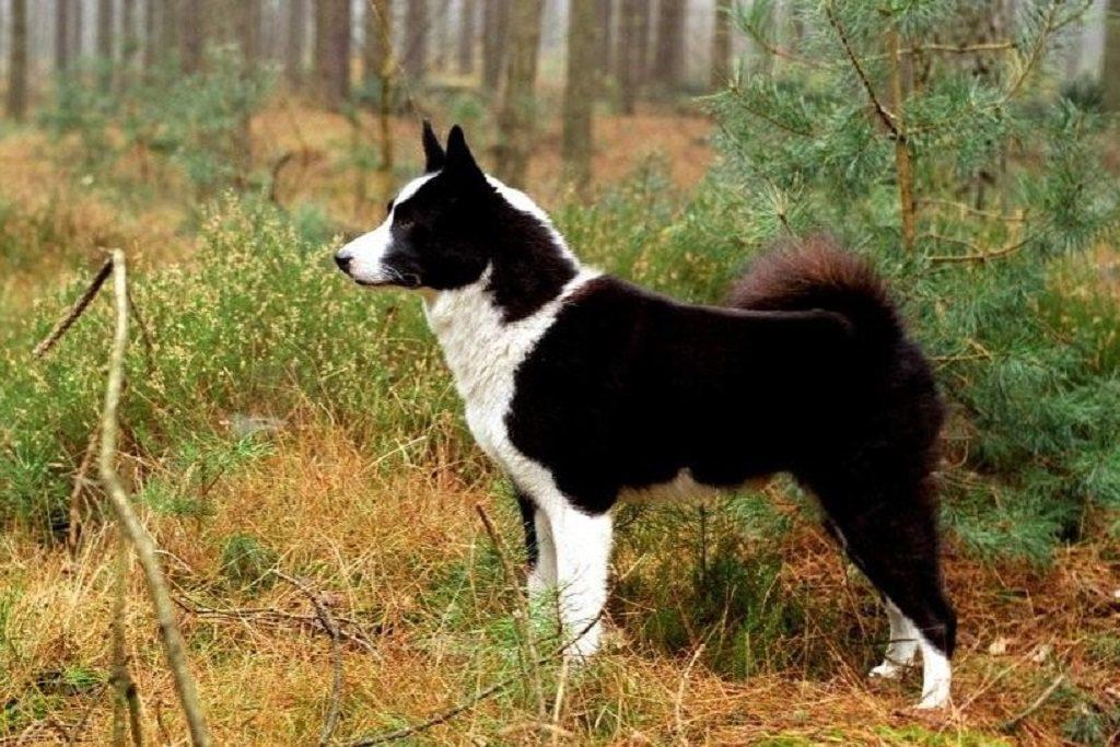 Карельская медвежья собака описание породы