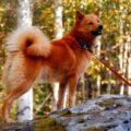 Карело-финская лайка (финский шпиц) описание породы