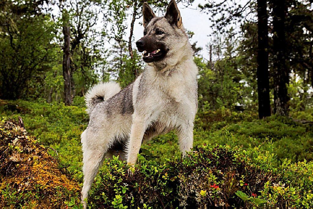 Норвежская лайка (элкхаунд) описание породы