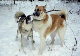Отличие восточно-сибирской и западно-сибирской лайки