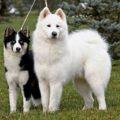Породы собак лайка