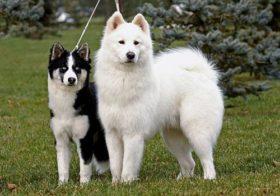 Фото записи Породы собак лайка