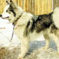 Сколько живут западно-сибирские лайки