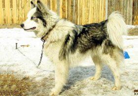 Фото записи Сколько живут западно-сибирские лайки