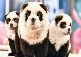 Фото записи Собак продолжают красить
