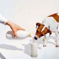 Молоко в рационе собак